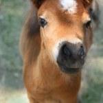 Baby miniature horse — Stock Photo #54318429