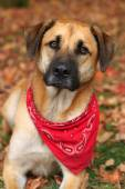 Large mixed breed dog in Autumn — Stock Photo
