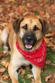 Large mixed breed dog in Autumn — Stockfoto