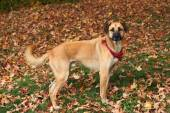 Large mixed breed dog in Autumn leaves — Stock Photo