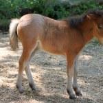 Baby miniature horse — Stock Photo #61253541