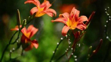 Flowers — Stock Video