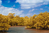 Mangrove by the beach with clear ocean water — Stockfoto
