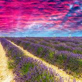 Lavendel bloem bloeien geurende velden in eindeloze rijen. valenso — Stockfoto