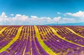 Lavender flower blooming scented fields in endless rows. Valenso — Stock Photo