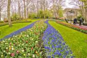 Поле тюльпанов в Kuekenhof, Нидерланды — Стоковое фото