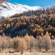 Larch forest and snowy mountain in fall — Stock fotografie #57691059