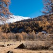 Larch forest and snowy mountain in fall — Foto de Stock   #57691575