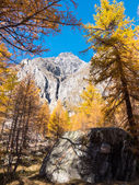 Larch trees and the peaks of Mont Blanc in fall  — Stock Photo