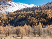 Larch forest and snowy mountain in fall  — Stock Photo