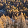 Larch forest in fall - Mont Blanc, Courmayer, Val d'Aosta, Italy — Stock fotografie #57746693
