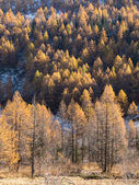 Larch forest in fall - Mont Blanc, Courmayer, Val d'Aosta, Italy — Stock Photo