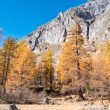 Larch forest in fall - Mont Blanc, Courmayer, Val d'Aosta, Italy — Stock fotografie #57759465