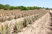 Aloe Vera: plantation of medicinal aloe vera in the farm — Stock Photo