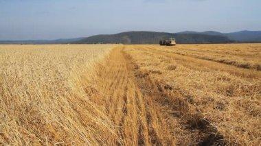 小麦の field.wheat の収穫の季節. — ストックビデオ