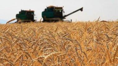 Wheat Field.Wheat Harvest Season. — Stock Video