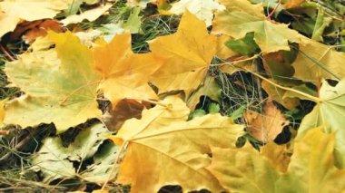 Gul maple leafs — Stockvideo