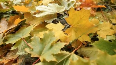Yellow Maple leafs — Stock Video