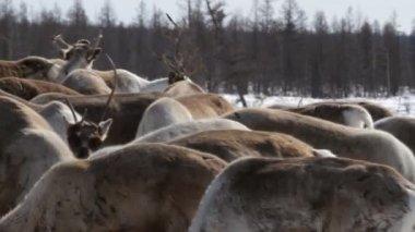 Reindeer  on pastures — Stock Video