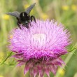 Bumblebee on Thistle Flower 03 — Stock Photo #57105129