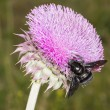 Bumblebee on Thistle Flower 01 — Stock Photo #57105275