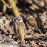 Sparrows on fallen autumn leaves — Stock Photo #54520277