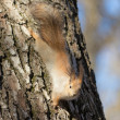 Squirrel on a tree trunk — Stock Photo #54566379