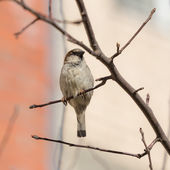 Sparrow sitting on a branch — Stock Photo