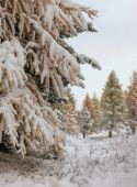 Coniferous trees under a snowfall — Stockfoto