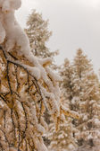 Larch after snowfall — Stockfoto