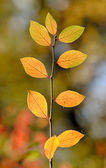 Autumn branch close up — Foto Stock