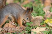 Squirrel on the grass closeup — Stock Photo