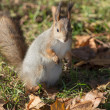 Squirrel close up in autumn — Stock Photo #57046095