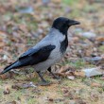 Portrait of a crow — Stock Photo #57050725