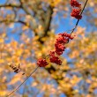 Branch with ripe rowan berries — Stock Photo #57120769