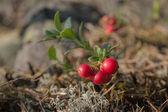 Lingonberry bush — Stock Photo