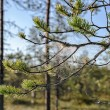 Morning dew on pine branch — Stock Photo #57469169