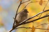 Sparrow in autumn closeup — Stok fotoğraf