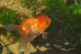 Peixinho — Foto Stock