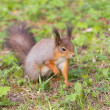 Squirrel in spring — Stock Photo #57728455
