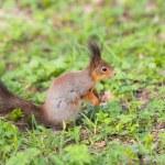 Curious squirrel — Stock Photo #57728457