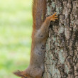 Squirrel on a tree — Stock Photo #57728483