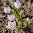 Crocuses close up in spring — Stock Photo #58144305