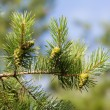 Pine branch — Stock Photo #58172917