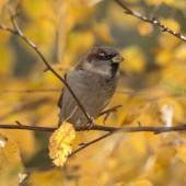 Autumn sparrow clodeup — Photo