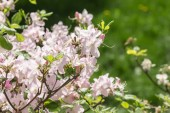 Rhododendron in spring garden — Stock fotografie