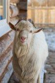 Curious goat — Stock Photo