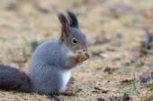 Squirrel in autumn — Stock Photo