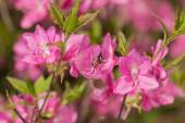 Pink rhododendron close up — Stock Photo