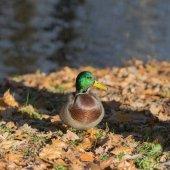 осенняя утка — Стоковое фото